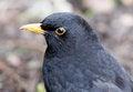 Free Blackbird Royalty Free Stock Photo - 26004605