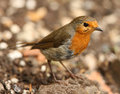 Free Robin Stock Images - 26004634