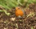 Free Robin Stock Image - 26004761