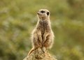 Free Meerkat Stock Image - 26005241