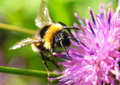 Free Bumblebee Royalty Free Stock Images - 26005739