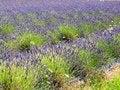 Free Lavender Farm Stock Photography - 26008082