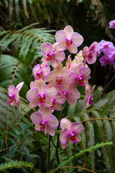 Free Orchids In Loro Park Royalty Free Stock Photography - 26002437