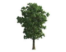 Free Tree Isolated On A White Background Stock Photography - 26003702