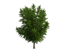 Free Tree Isolated On A White Background Stock Images - 26003794