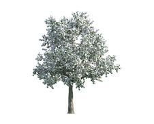 Free Tree Isolated On A White Background Stock Photos - 26003883