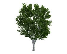 Free Tree Isolated On A White Background Royalty Free Stock Photo - 26003925