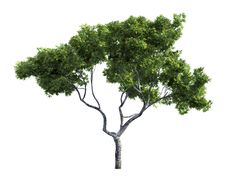Free Tree Isolated On A White Background Royalty Free Stock Photography - 26003927