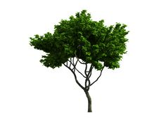 Free Tree Isolated On A White Background Royalty Free Stock Photo - 26003945