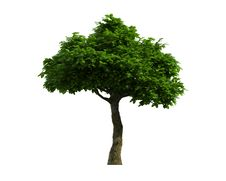 Free Tree Isolated On A White Background Stock Photo - 26003960
