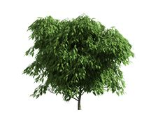 Free Tree Isolated On A White Background Stock Image - 26003971