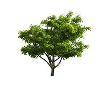 Free Tree Isolated On A White Background Stock Image - 26003981