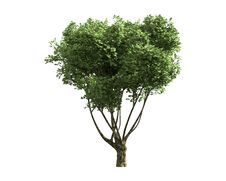 Free Tree Isolated On A White Background Royalty Free Stock Photo - 26003985