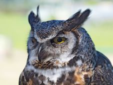 Free Great Horned Owl, &x28;Bubo Virginianus&x29; Stock Images - 26004344