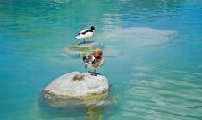 Free Red Crested Pochard Stock Images - 26004794