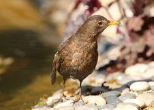 Free Blackbird Stock Photo - 26004850