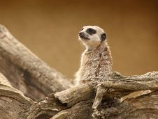 Free Meerkat Stock Photos - 26004873
