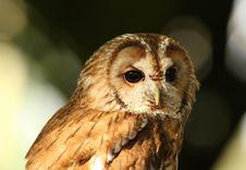 Free Tawny Owl Stock Photo - 26004980