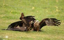 Free Black Kites Royalty Free Stock Images - 26004989