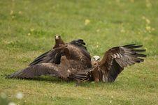 Free Black Kites Stock Image - 26005031
