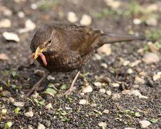 Free Female Blackbird Royalty Free Stock Photos - 26005058