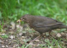Free Female Blackbird Stock Photos - 26005073