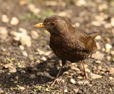 Free Female Blackbird Stock Photo - 26005090