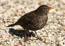 Free Female Blackbird Royalty Free Stock Photos - 26005108