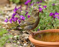 Free Greenfinch Royalty Free Stock Image - 26005146