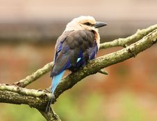 Free Blue Winged Kookaburra Stock Photos - 26005223