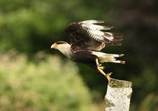 Free Caracara Royalty Free Stock Photo - 26005265