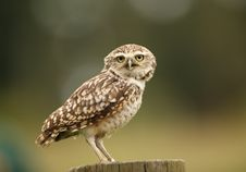 Free Burrowing Owl Stock Photography - 26005302