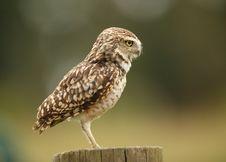 Free Burrowing Owl Royalty Free Stock Photos - 26005308