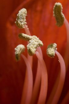 Free Several Fragile Pistils Of Red Flower Stock Photography - 26005742