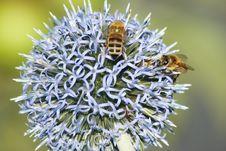 Free Bees On Thistle Stock Photos - 26007153