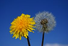 Old And Young Dandelion Royalty Free Stock Photos