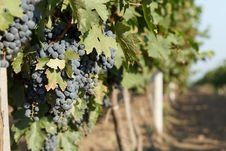 Free Rows Of Blue Grapes Stock Photo - 26010640