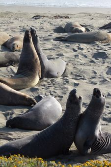 Free Elephant Seals Pair Fight Stock Photo - 26017090