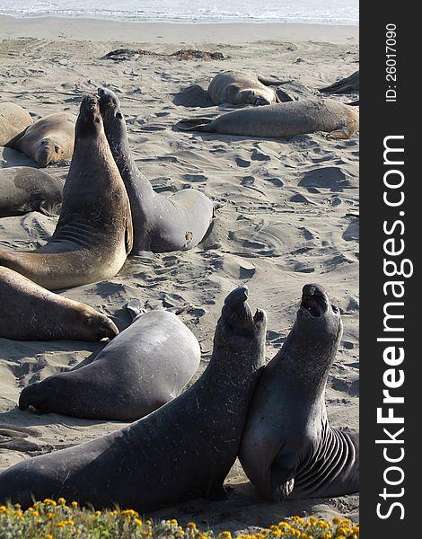 Elephant Seals Pair Fight