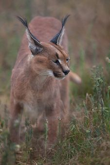 Free Caracal Royalty Free Stock Images - 26027069