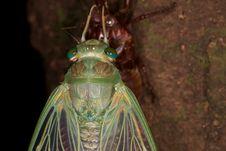 Free Cicada Molting Exoskeleton Stock Photo - 26029040
