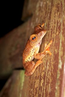 Free Flying Frog In Borneo Royalty Free Stock Photos - 26029048
