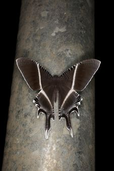Free Swallowtail Moth In Borneo Stock Images - 26029074