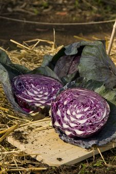 Sliced Garden Cabbage Royalty Free Stock Image