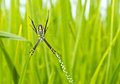 Free Yellow-black Spider In Her Spiderweb Royalty Free Stock Photography - 26034747