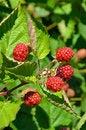 Free Red Summer Berries Stock Photo - 26035380
