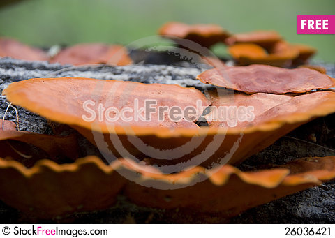 Free Mushrooms On Tree Trunk Close Up Stock Image - 26036421
