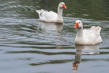 Free Geese Royalty Free Stock Images - 26030979