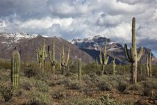 Free Saguaro Cacti And The Superstitions Royalty Free Stock Photography - 26032117