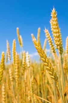 Free Mature Ears Of Wheat. Stock Photos - 26032933